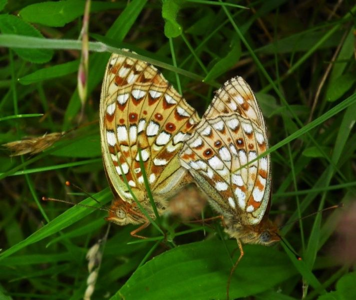 Capula-Duinparelmoer-Middel